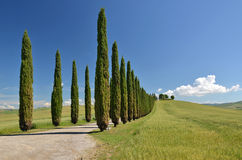 Cypress trees along rural road Royalty Free Stock Photos