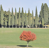 Cypress trees in Autumn Royalty Free Stock Photo