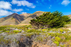 Cypress trees bent by winds near Garrapata State Park, Californi Royalty Free Stock Photography