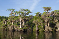 Cypress Trees at Blue Cypress Lake in Indian River County Florida Royalty Free Stock Photos
