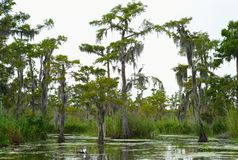 Cypress Trees in a Bayou royalty free stock image