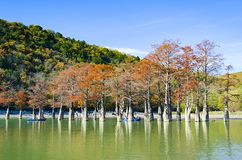 Cypress trees dot a pond in Sukko. stock images