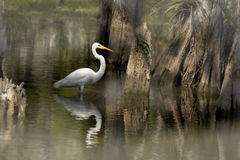 Cypress Trees and Egret Stock Photography