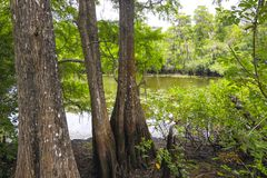 Cypress Trees in a Florida Swamp. Large cypress trees near the water in a Florida swamp near Tampa royalty free stock photo