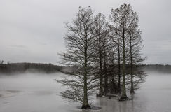 Cypress Trees in Fog and Ice. Cypress tress in fog and ice on a winter morning at Stumpy Lake in Virginia Beach, Virginia Royalty Free Stock Photo