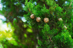 Cypress trees foto. Cypress trees, green branches with cones foto stock photo