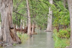 Cypress trees in the Frio River Stock Photography