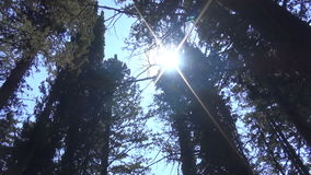 Cypress Trees in front of the Sun. Moving beneath the shadow of the cypress trees which cover the light of the sun stock footage