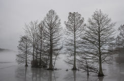 Cypress Trees Frozen in Ice and Shrouded in Fog Stock Images