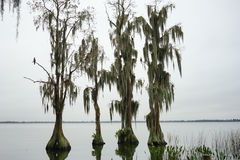 Cypress Trees grow in water Stock Photography