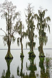 Cypress Trees grow in water Stock Photo