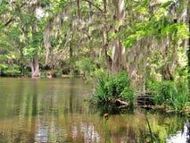 Cypress trees growing in wet marsh land Stock Photos