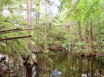 Cypress trees growing in wet marsh land Royalty Free Stock Images