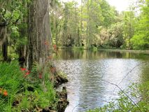 Cypress trees growing in wet marsh land Royalty Free Stock Image