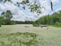 Cypress trees growing in wet marsh land. At the Magnolia Plantation in Charleston, South Carolina Stock Image