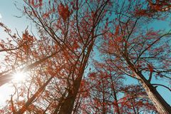 Free Cypress Trees In Autumn With Red Leaves Against Blue Sky With Sun Rays. Majestic And Beautiful The Trunks Of Cypress Royalty Free Stock Photography - 163711627