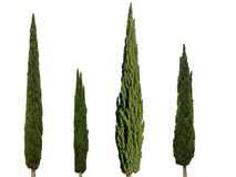 4 cypress trees isolated on white background stock photography