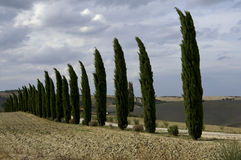 Cypress trees in Italian landscape Stock Images
