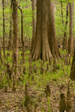 Cypress Trees & Knees in a Dried-Up Swamp Stock Photography