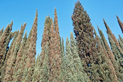 Cypress trees Royalty Free Stock Images