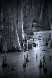 Cypress trees in the marsh Royalty Free Stock Image