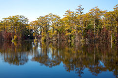 Cypress trees, on a mill pond (#1) Stock Photos