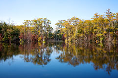Cypress trees, on a mill pond (#2) stock image