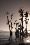 Cypress trees with  moss. Cypress trees on a lake with Spanish moss in the limbs Royalty Free Stock Photo