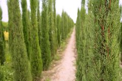 Cypress trees ornamental agriculture Stock Photo