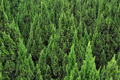 Cypress trees pattern overspread. Pattern from many cypress trees, shown as repeated tree overspread and green color Royalty Free Stock Photos
