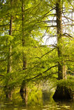 Cypress trees in the river Royalty Free Stock Photo