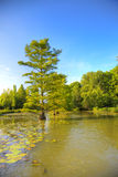 Cypress trees in the river Stock Photos