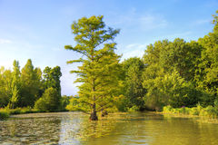 Cypress trees in the river Stock Photo