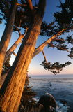 Cypress Trees on Shore. A sunset view of several cypress trees stretching out over the Pacific Ocean along the shore of the Big Sur area of California.  Vertical Royalty Free Stock Images