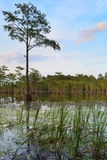 Cypress Trees, south Georgia Swamps Royalty Free Stock Photo