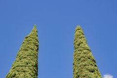 Cypress trees in the summer in the park. Day time stock photography