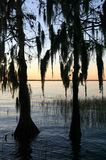 Cypress Trees at Sunset. Cypress trees on a lake at sunset Royalty Free Stock Image