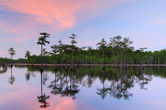 Cypress Trees in the swamp royalty free stock photo