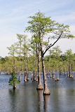 Cypress trees in swamp Royalty Free Stock Images