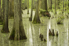 Cypress trees in swamp Royalty Free Stock Photos