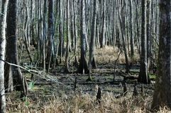 Cypress Trees On A Swamp At Fairview-Riverside State Park Stock