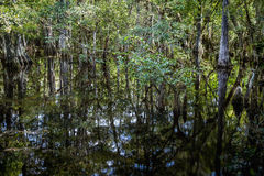 Cypress Trees Swamp royalty free stock photos