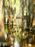 Cypress Trees in Swamp with Exposed Knees Stock Photos