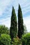 Cypress trees Stock Images