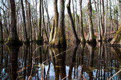 Cypress trees in water Stock Photo
