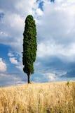 Cypress in Tuscany Stock Photo