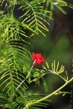 Cypress Vine Stock Image