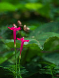 Cypress vine royalty free stock photo