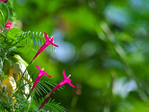 Cypress vine Stock Photo
