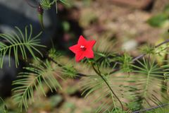 Cypress vine. Is a star-shaped flower and is called Star glory. Because it is vine, it is also used for green curtains, and autumn flower beds become very Royalty Free Stock Photo